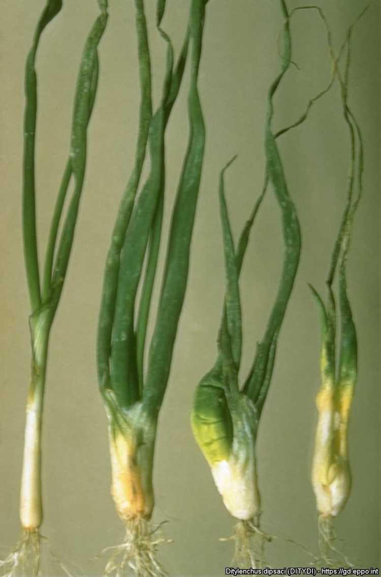A szárfonalféreg kártétele a zöldségfélék közül elsősorban a vöröshagyma és a fokhagyma szárán jelentős
