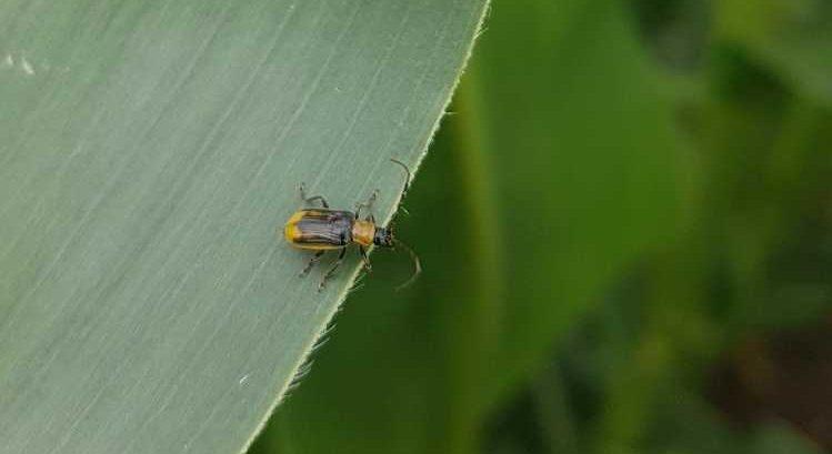 Az amerikai kukoricabogár Észak-Amerikából Európába behurcolt faj. Fotó: Takács Attila