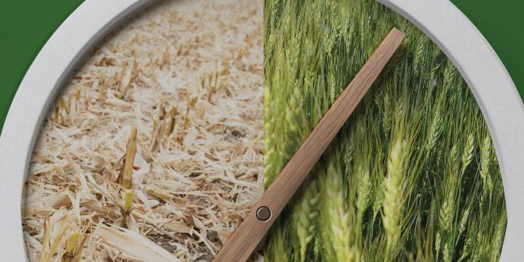 Olvasd el, mielőtt búzát vetsz kukorica után!