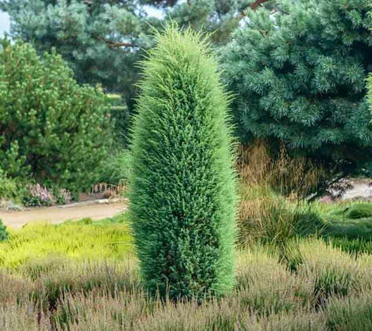 1. kép. A közönséges boróka (Juniperus communis) nagy díszítőértékkel bír.
