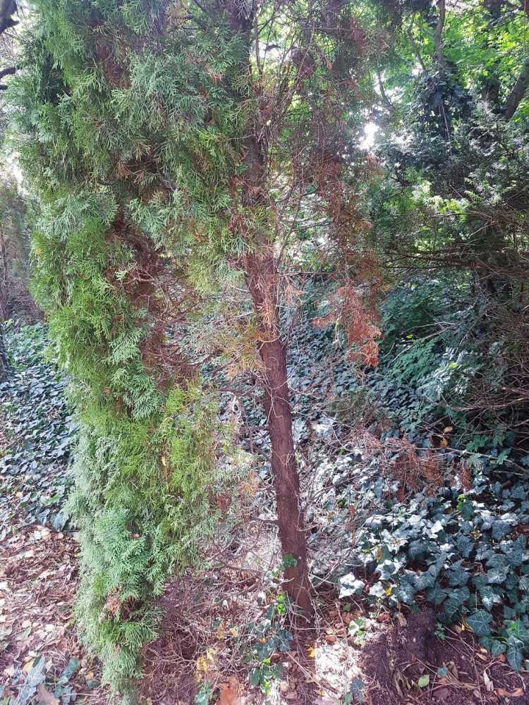 10. kép. A rossz helyre ültetett fák veszítenek díszítőértékükből, és sokkal érzékenyebbek a kártevőkre és a kórokozókra.