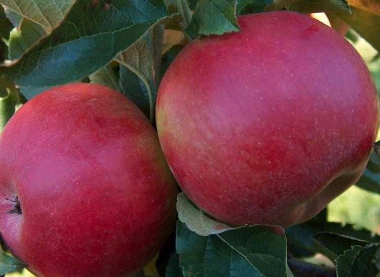 A gyümölcstárolás éppúgy szakértelmet igénylő tevékenység, mint a megtermelése