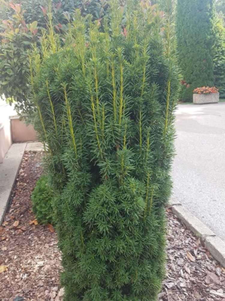 2. kép. A tiszafa (Taxus baccata) őshonos örökzöld növényünk.