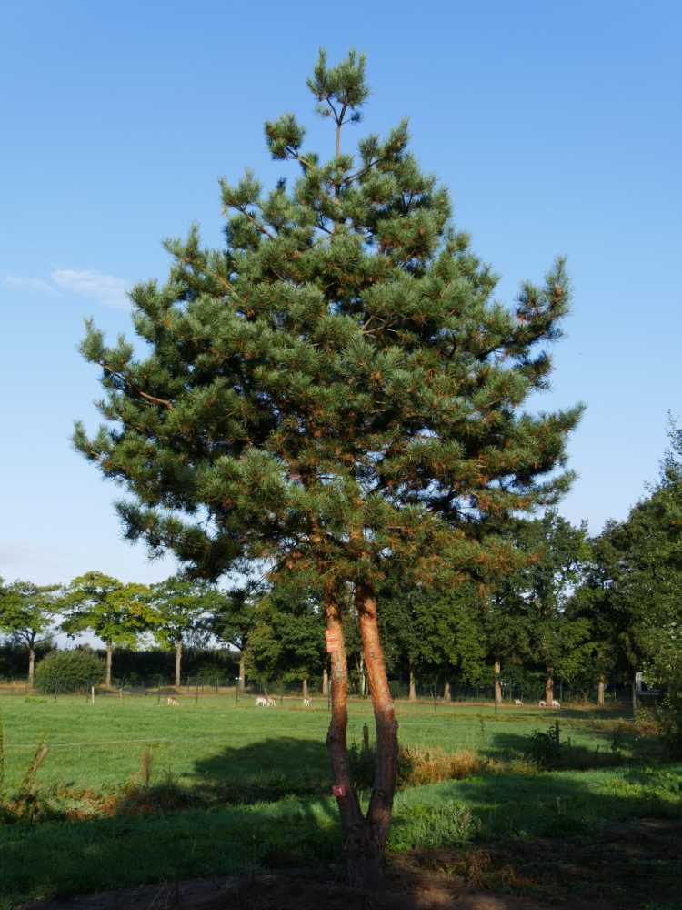 3. kép. Az erdei fenyő (Pinus sylvestris) szép térállású fa.