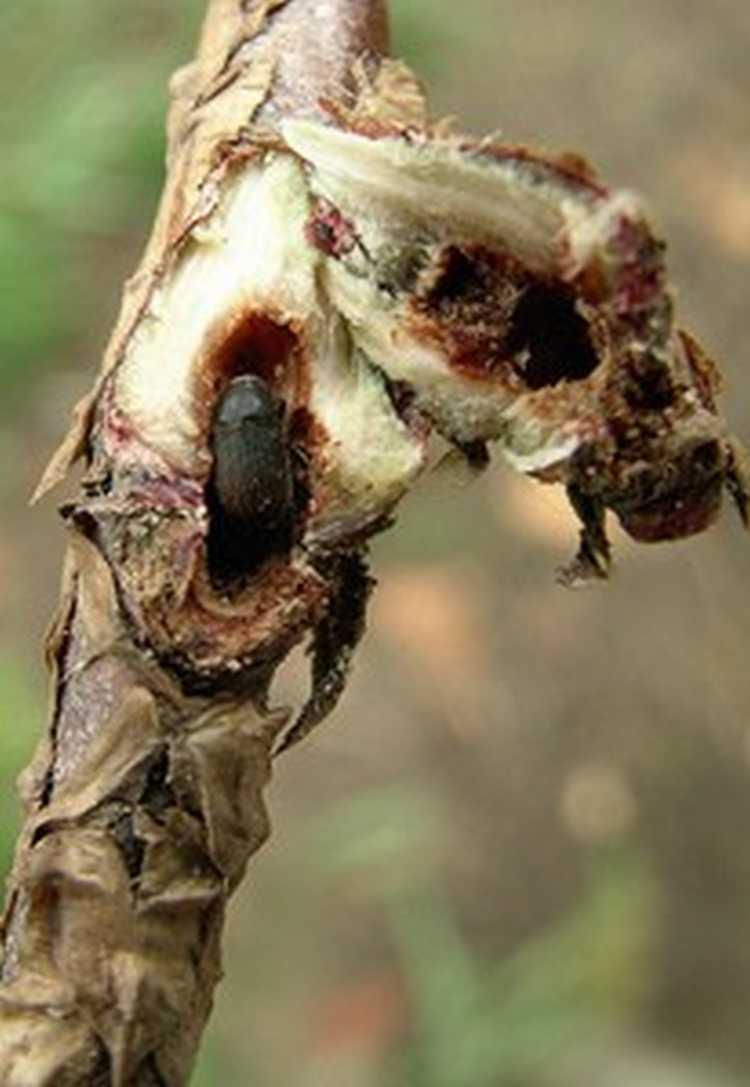 5. kép. A tujaszú eladhatatlanná teszi a fát.