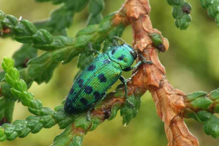7. kép. A boróka-tarkadíszbogár súlyos károkat okoz.