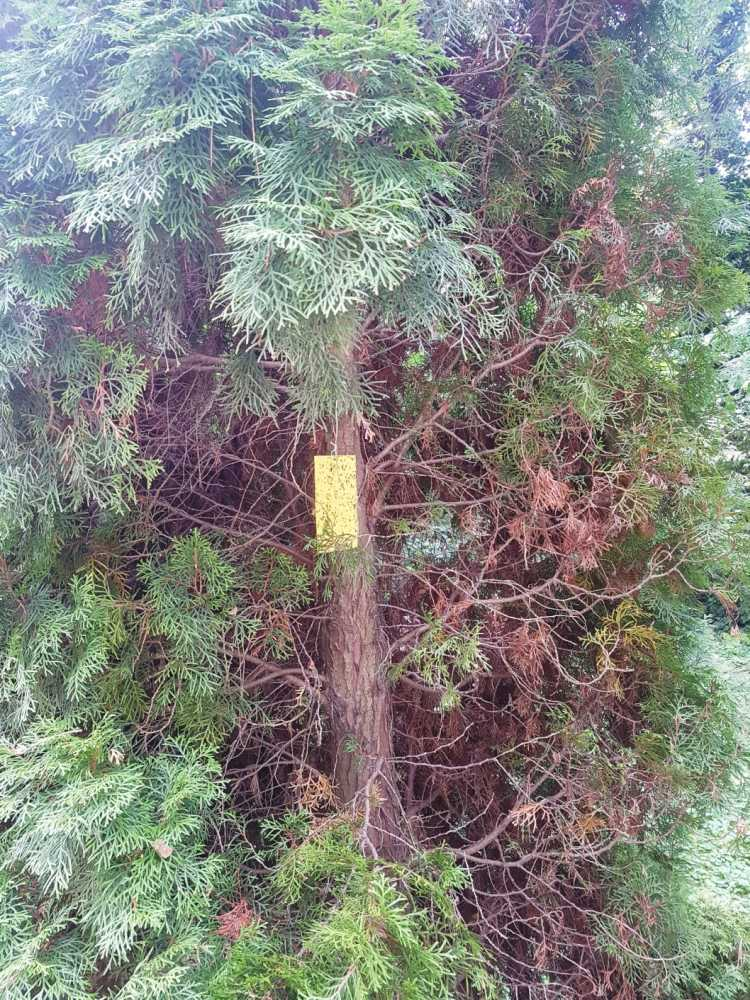 8. kép. A boróka-tarkadíszbogár előrejelzésére alkalmas a sárga színű ragacslap.