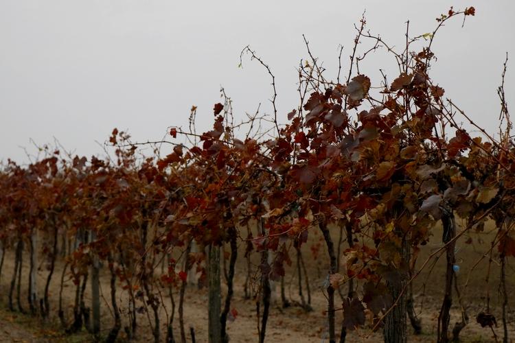 magyar szőlő