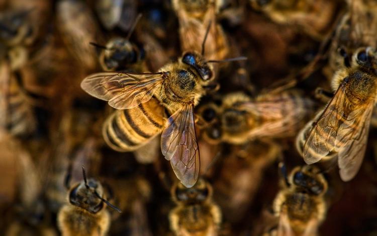 méh populáció