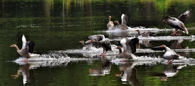 vízi vad madarak