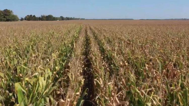 pioneer kukorica