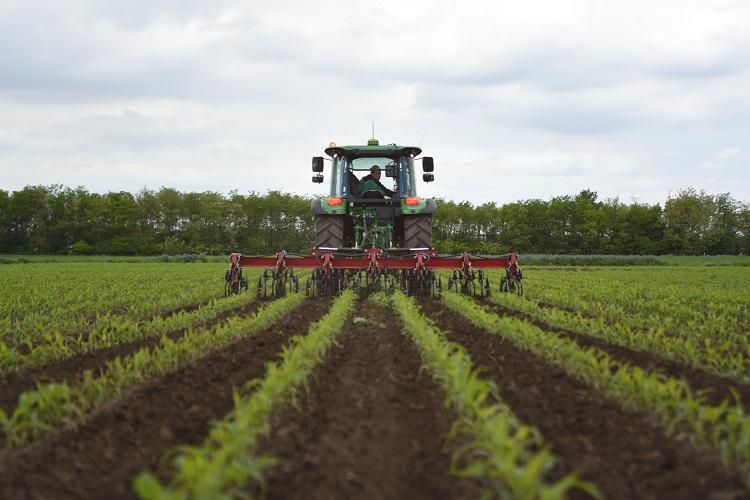 kukorica termesztés
