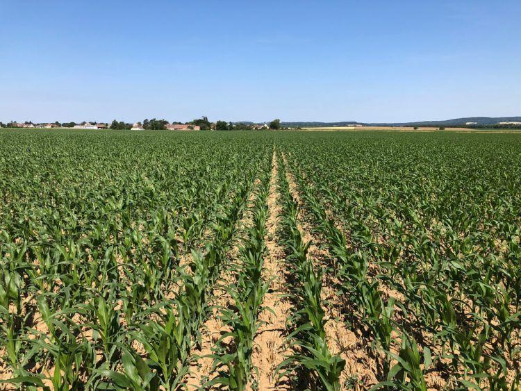 Rozstarlóba direktvetett kukorica