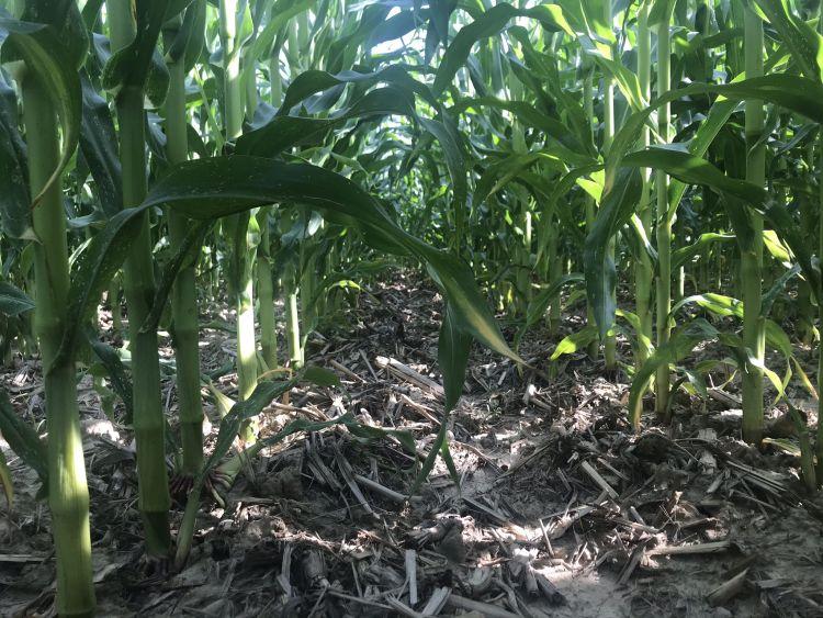 Napraforgó után direktvetett kukorica sorköze 2020. július közepén