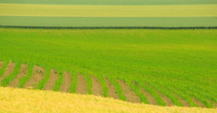 búza kukorica