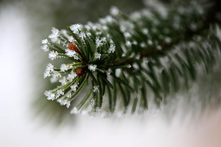 Téli fenyő