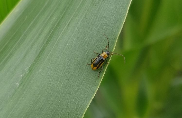 A kukoricabogarak a leveleken mászva keresik a párzásra alkalmas helyet.