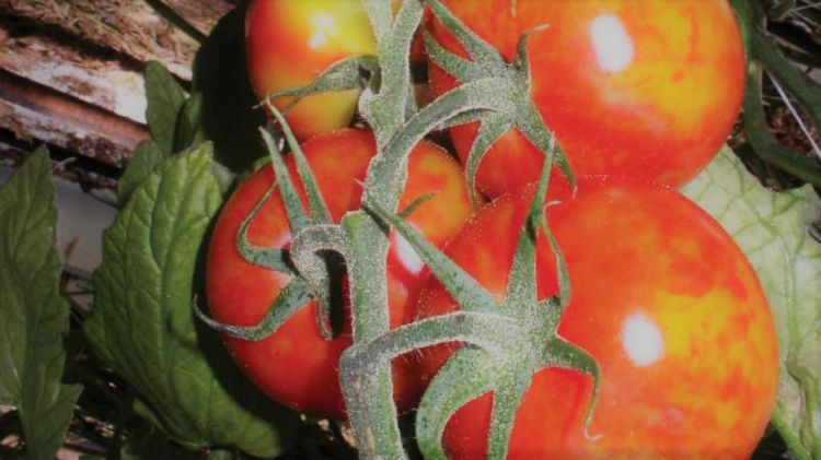 PepMV tünete a paradicsom termésén