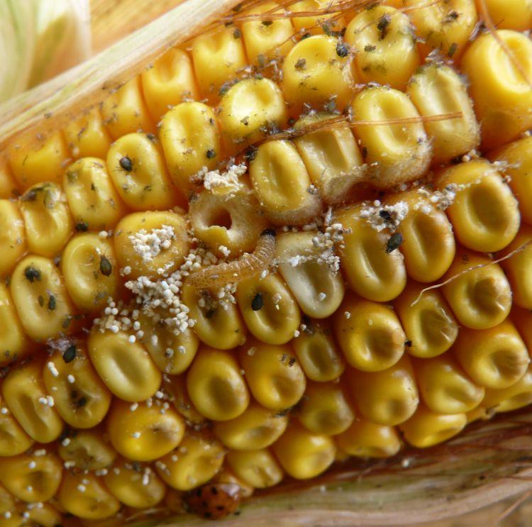 A kukoricacsövön károsí tó kukoricamoly-hernyó, levéltetvek és a kártétel következtében megjelenő fuzárium.