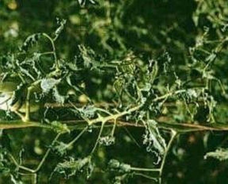 Páfránylevelűség tünete paradicsomon