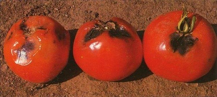 Paradicsom nekrotikus elhalásának tünete a termésen