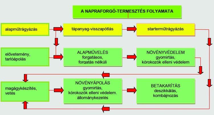 A napraforgó-termesztés folyamata