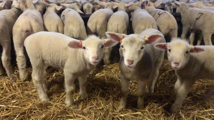 Bárányóvodában