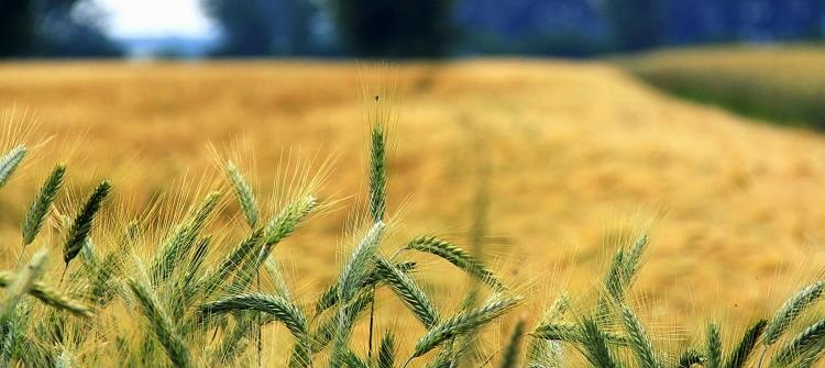 gabonaárak