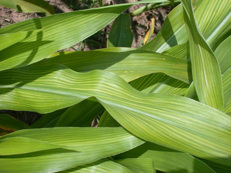 kénhiányos kukorica