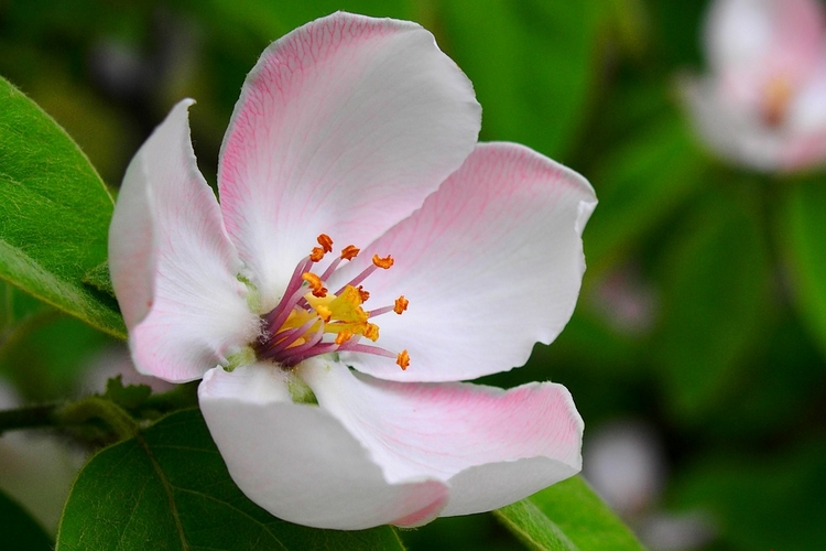 Almafa virágja