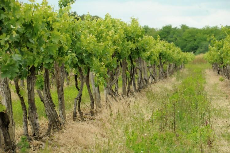 Mezőgazdaság, szőlőültetvény
