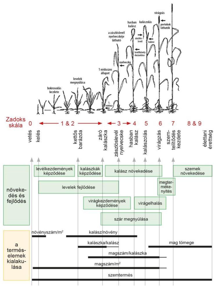 Zadok-skála – őszi búza