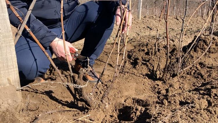 fejművelésű szőlő metszése (Fotó: a szerző)