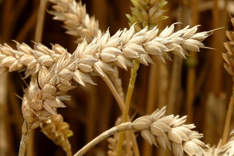 Mezőgazdaság, gabona, nemesítés