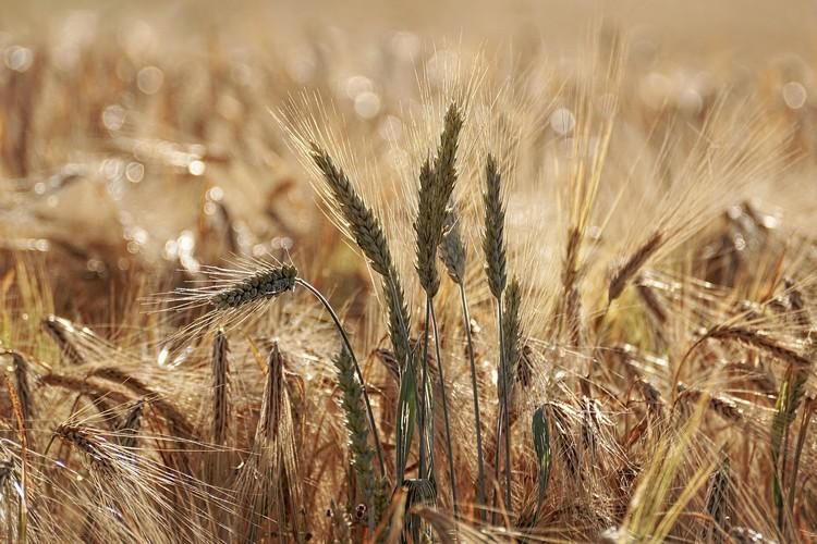 Mezőgazdaság, gabona-külkereskedelem