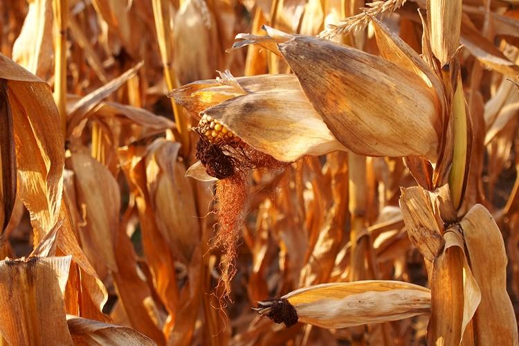 Kukorica, mezőgazdaság