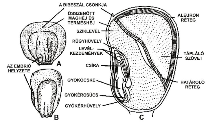 A kukoricamag szerkezete