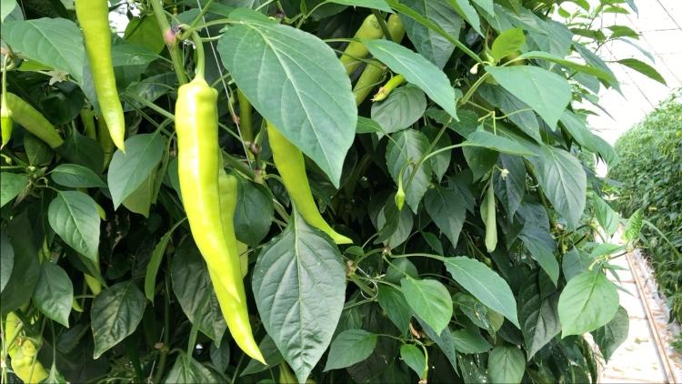 Daras fajtájú erős paprika termesztése