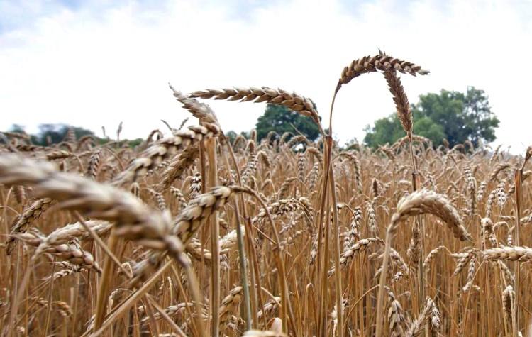 Mezőgazdaságban négy kalászos fungicid a Bayertől