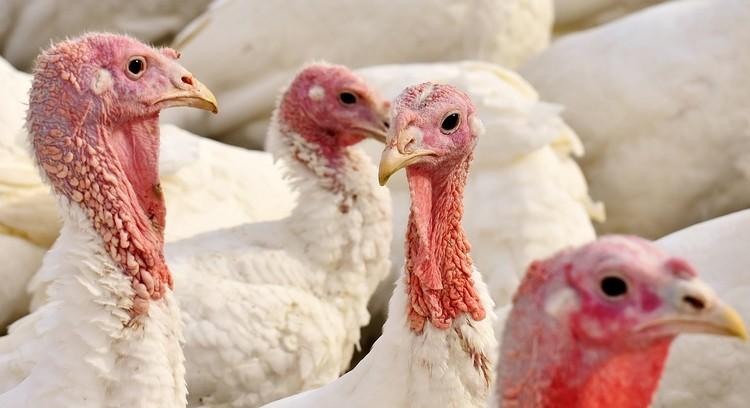 Mezőgazdasági vészhelyzet, madárinfluenza