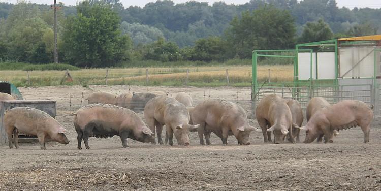 Mezőgazdaság, állattenyésztés, sertéságazat