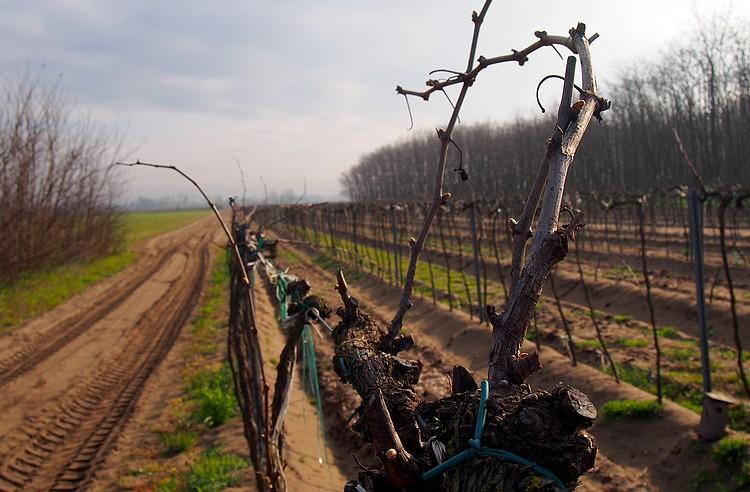 Mezőgazdaság, szőlő