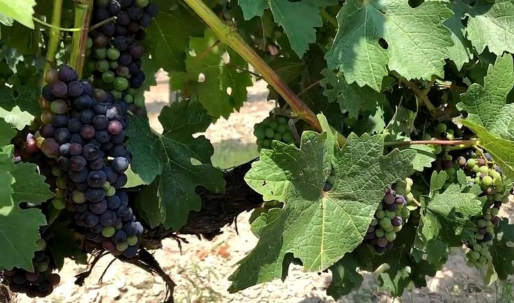 Mezőgazdaság, szőlőtelepítés