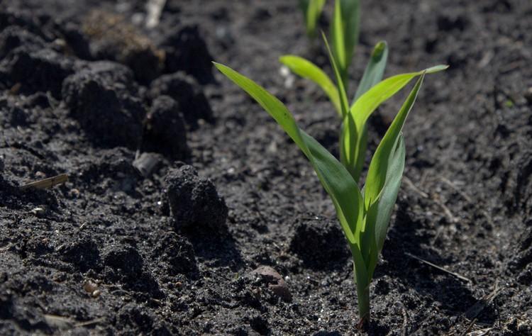Mezőgazdaság, kukorica
