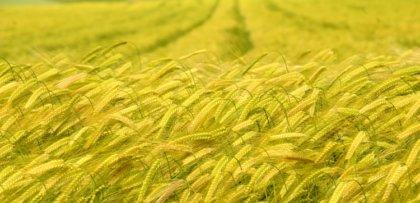 Egyiptom 13 millió tonna búzát vesz