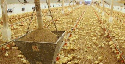 Omega-3 csirke jelenik meg a piacon
