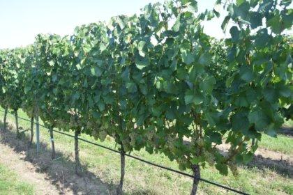 Tápanyagellátás és stresszoldás szőlőben biológiai készítményekkel