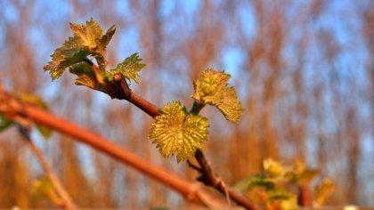 Irány a szőlő, lehet kezdeni a zöldmunkát