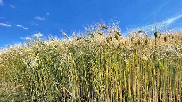 Mezőgazdaság, árpa