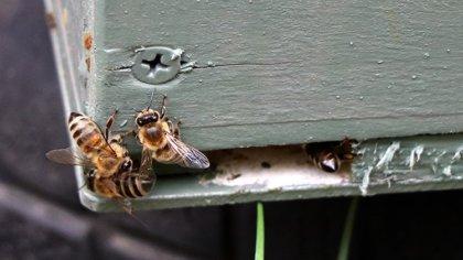 Afrikanizálódnak a mézelő méheink, ez nagyon nem jó
